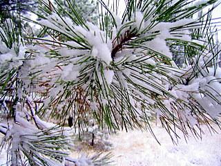 snow on Ponderosa pine